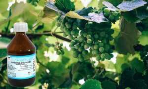 Как правильно обработать виноград перекисью водорода
