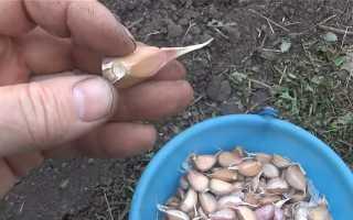 Когда нужно сажать чеснок под зиму: сроки и схема, сорта для зимней посадки