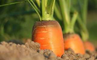 Когда пора убирать морковь в Подмосковье: определение зрелости