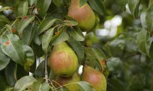 Описание и особенности выращивания груши Просто Мария