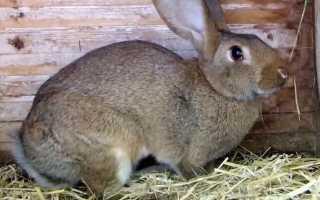 Что такое миксоматоз у кроликов?