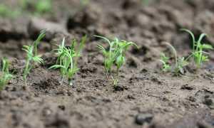 Как посадить укроп в открытый грунт семенами