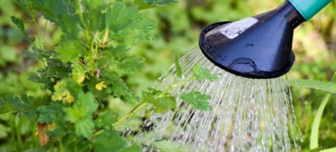 Подкормка крыжовника весной народными средствами и минеральными удобрениями