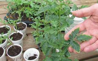 Сохнут листья на рассаде помидоров: причины, что делать