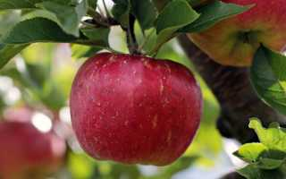 Подробное описание и выращивание яблони Слава победителям