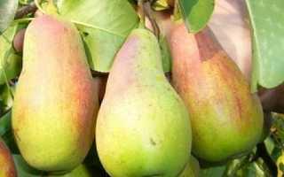 Описание и особенности выращивания груши Лесная красавица