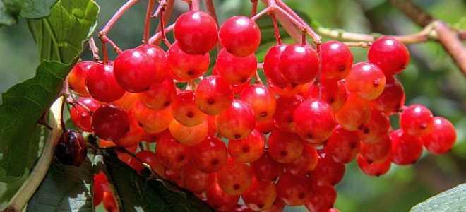 Полезные свойства калины для организма: применение, рецепты, нормы приема, противопоказания