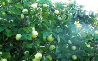 Подробное описание раннего сорта яблони Белый налив