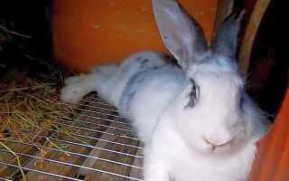 Источники заражения пастереллезом кроликов и способы лечения