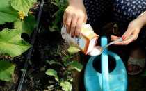 Опрыскивание и полив огурцов пищевой содой: рецепты подкормок