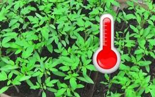 Оптимальная температура для рассады томатов от посева до посадки