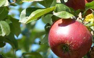 Условия выращивания и описание яблони Апорт