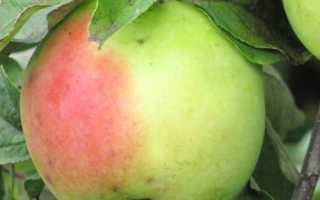 Особенности посадки и выращивание яблони Синап Орловский