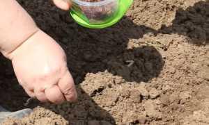 Когда и как посеять свеклу в открытый грунт