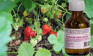 Подкормка клубники борной кислотой: сроки, рецепты и нормы внесения удобрений