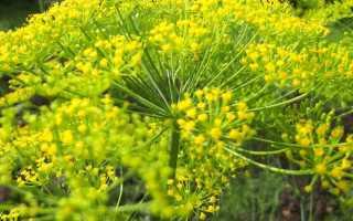 Когда лучше сажать укроп под зиму: сроки и сорта для подзимнего посева