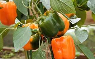 Перец Аллар F1: описание и характеристика, урожайность