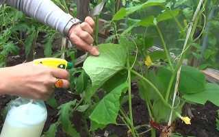 Чем обрабатывать огурцы от мучнистой росы: народные средства и химические препараты