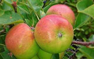 Описание и выращивание сорта яблони Боровинка