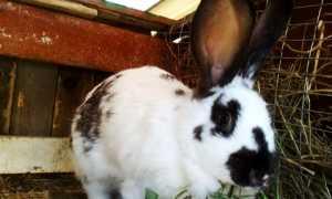 Особенности разведения кроликов породы Бабочка в домашних условиях