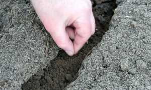 Когда лучше сажать свеклу под зиму: сроки и сорта для осеннего посева