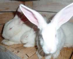 Содержание и разведение породы кроликов белый великан