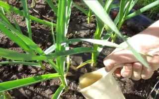 Что делать если чеснок желтеет весной на грядке — чем полить и подкормить