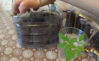 Преимущества китайского способа выращивания рассады томатов