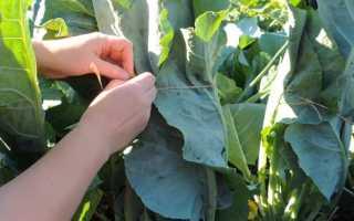Почему не завязываются кочаны у цветной капусты: чем обработать для завязи
