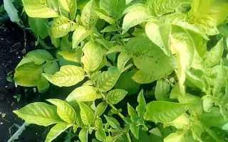 Почему ботва картофеля желтеет раньше времени: причины, что делать?