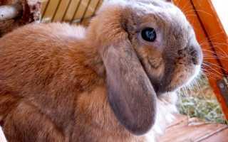 Особенности содержания породы кроликов вислоухий баран