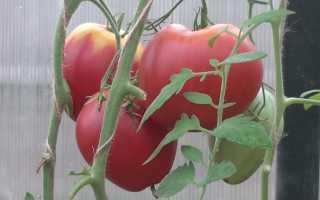 Сорта томатов для Подмосковья — какие лучшие для теплиц и открытого грунта