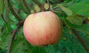 Характеристика и выращивание яблонь Грушовка