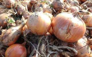 Когда нужно убирать лук с грядок: определение зрелости и подготовка к хранению