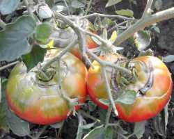 Что делать если начинают трескаться помидоры на кустах при созревании