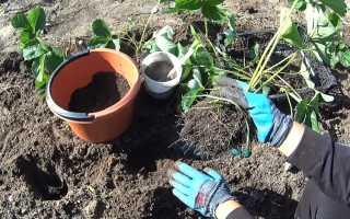 Как посадить клубнику в открытом грунте весной