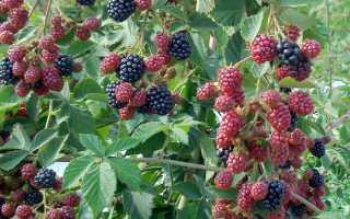 Правила посадки и ухода за сортами садовой ежевики