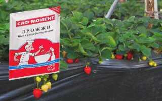 Как подкормить клубнику дрожжами: рецепты и нормы внесения дрожжевого удобрения