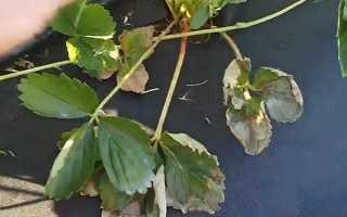 Почему сохнут листья на клубнике: причины, что делать