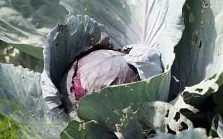 Почему на капусте листья стали фиолетовыми