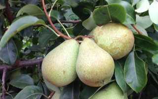Полное описание зимнего сорта груши Белорусская поздняя
