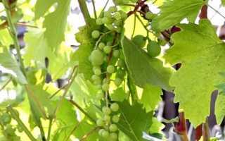 Почему происходит горошение ягод винограда – что делать?