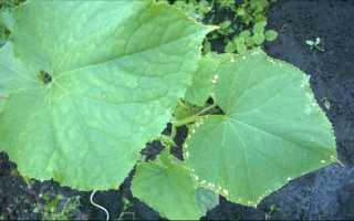 Что делать при пожелтении листьев у огурцов — способы оздоровления рассады