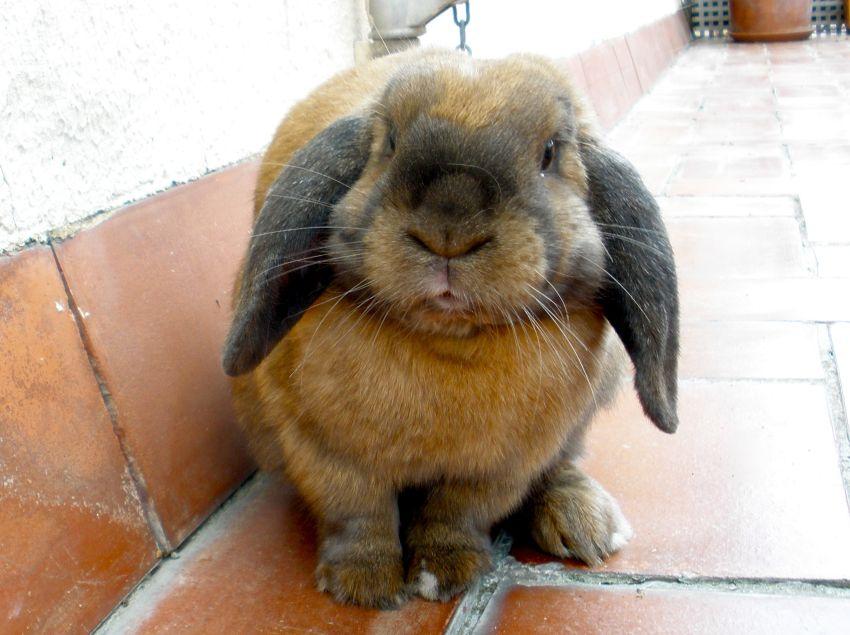 Вислоухий кролик уход