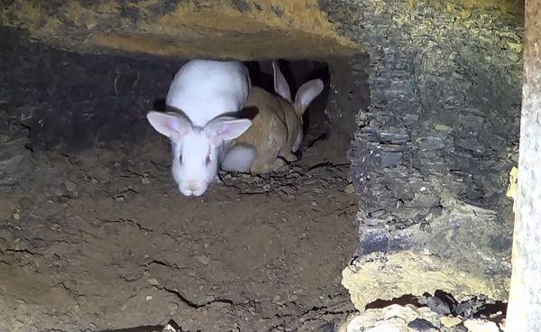 Кроль и крольчиха