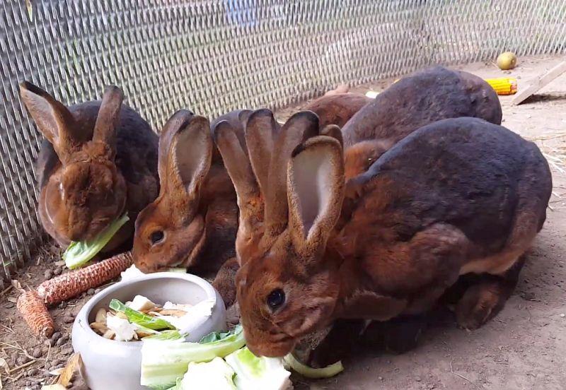 крольчата рексы