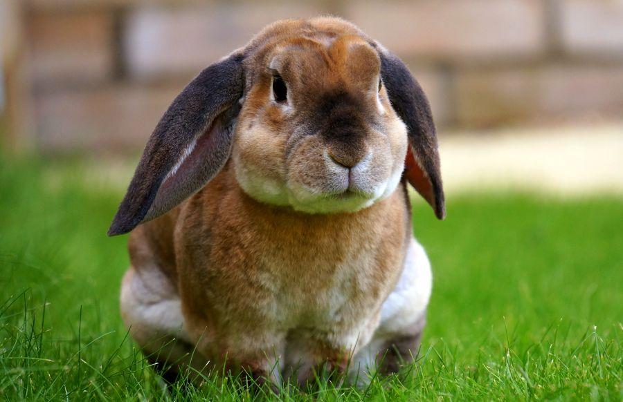 Вельветовый кролик