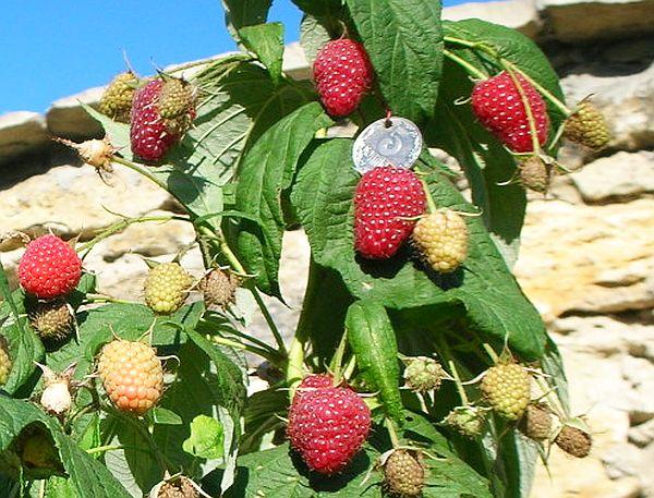 ягоды Польки