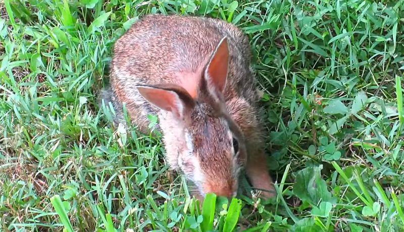 закисание глаза у кролика