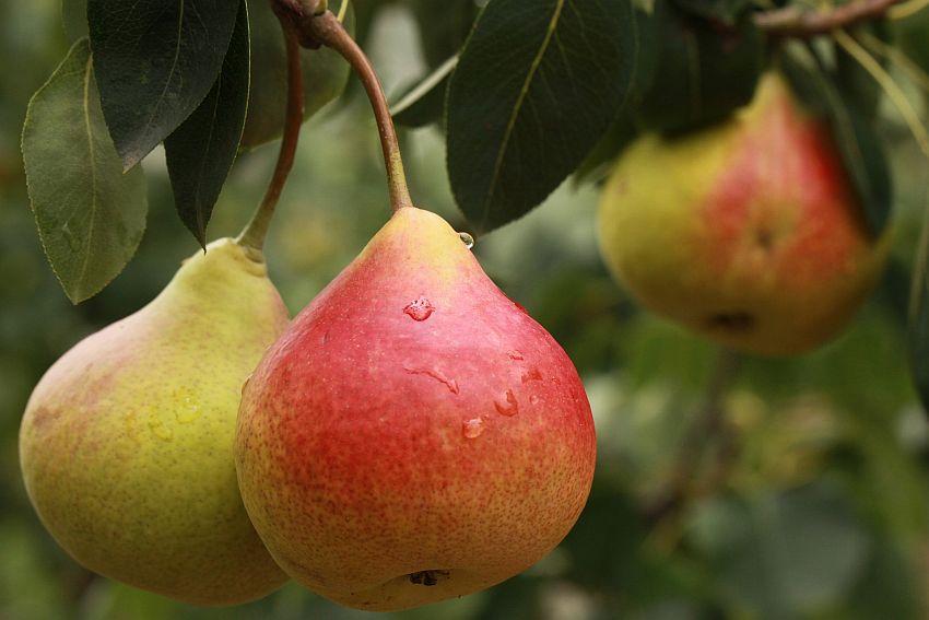 выращивание груши памяти яковлева
